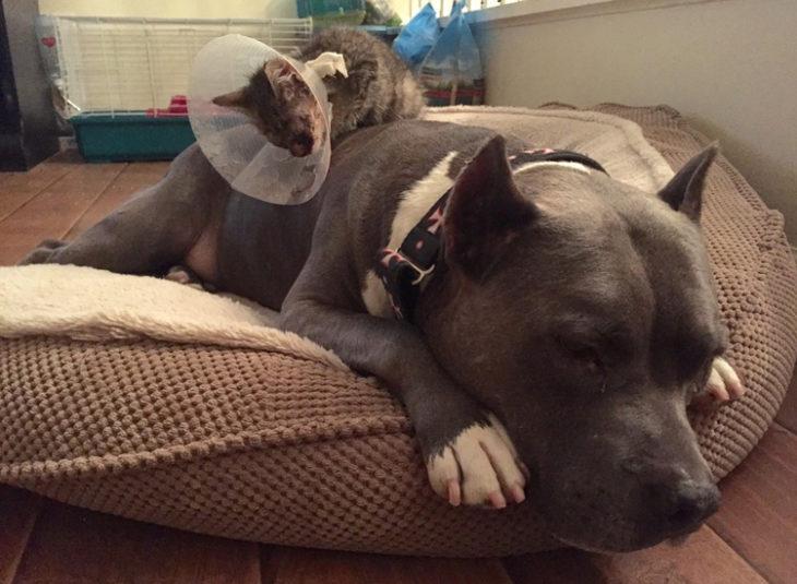 Pitbull cuidando a gatito ciego