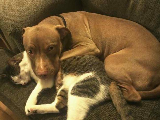 Gato y pitbull acostados en el sillón