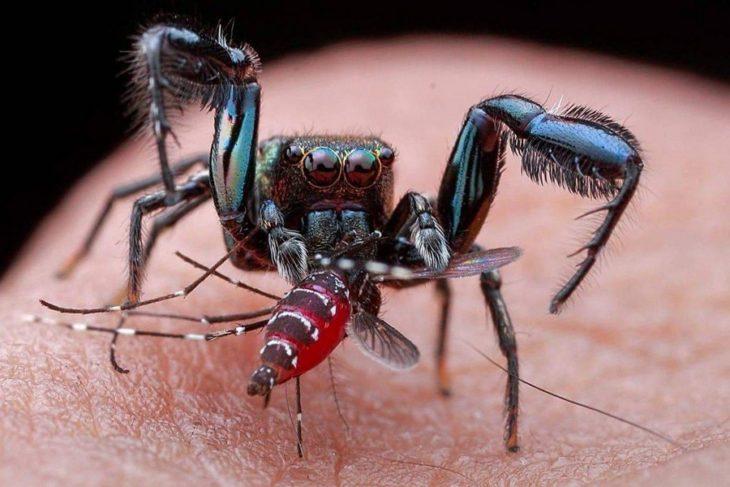 una araña junto a un mosquito comiendo sangre