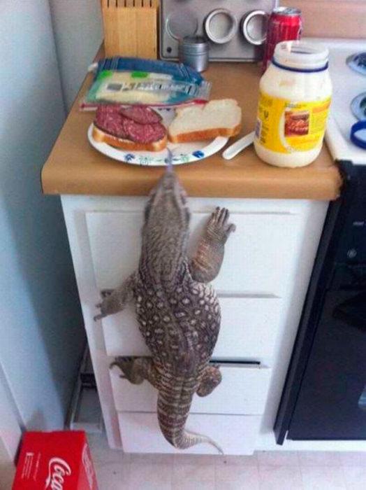 un dragón de komodoro robándose el desayuno de un hombre