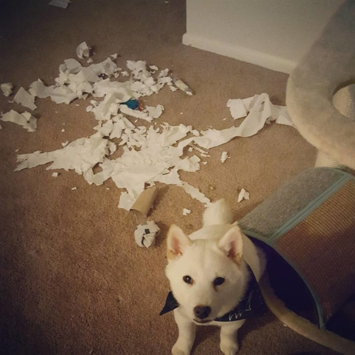 cachorro hizo un desastre con el papel de baño