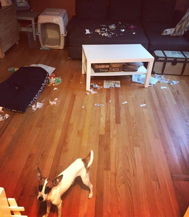 perro de raza pequeña en un cuarto desordenado