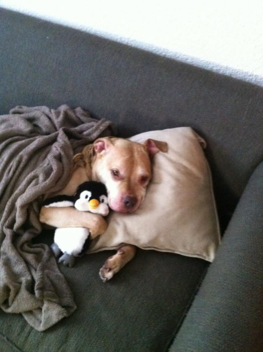 perro chipil
