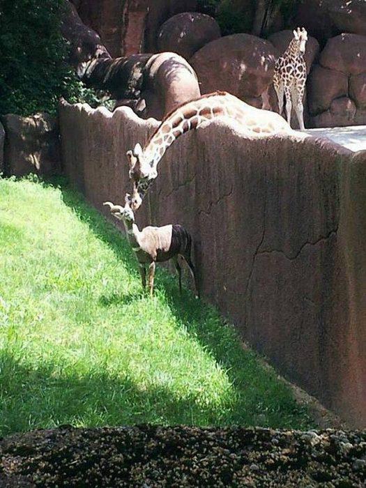 una jirafa burlando la cerca