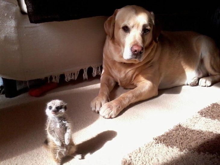 suricata y un perro amigos