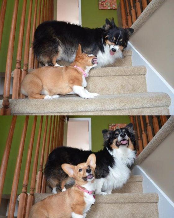 dos perros que pelean, posan para la foto