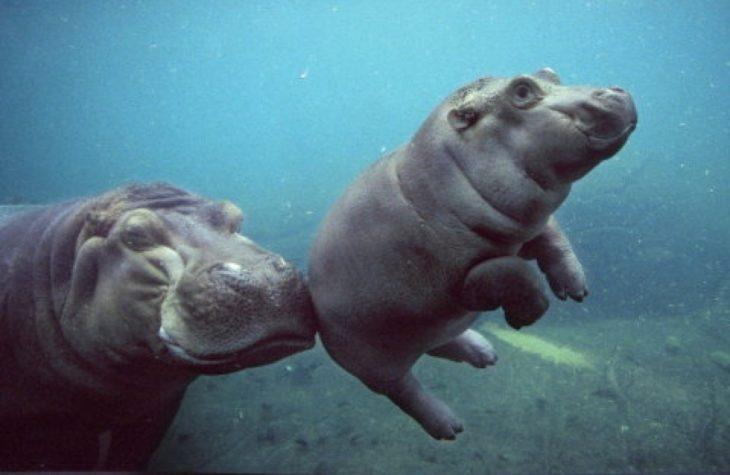 una mamá hipopótamo enseñando a nadar a su bebé
