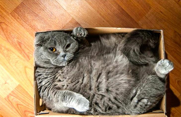 un gato que no cabe en una caja
