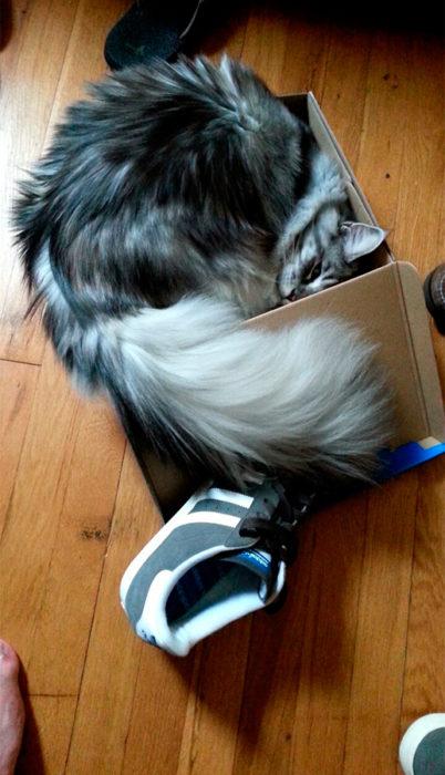 un gato adentro de una caja en la que no cabe