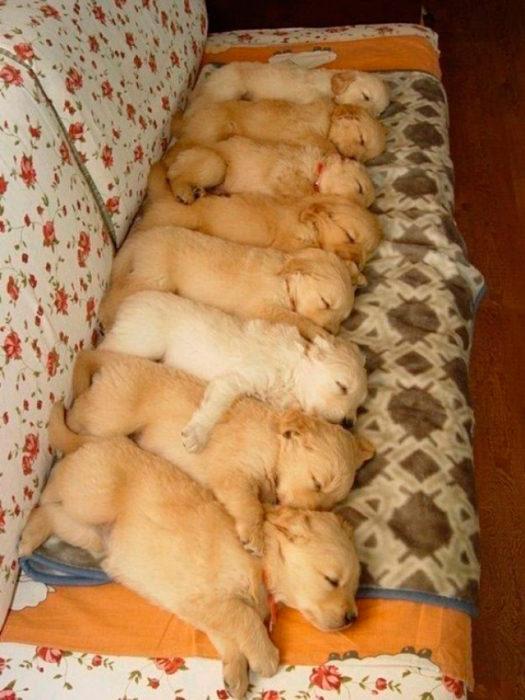 golden retriever bebés