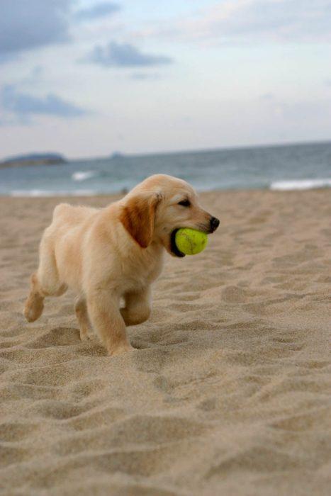 cachorro jugando con una pelota en la playa