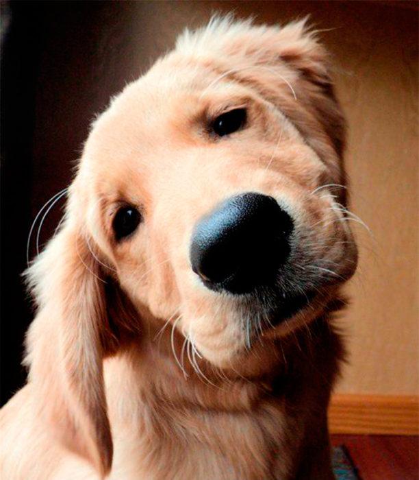 golden retriever adorable