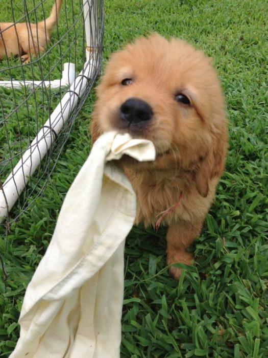 cachorro que quiere jugar con su frazada