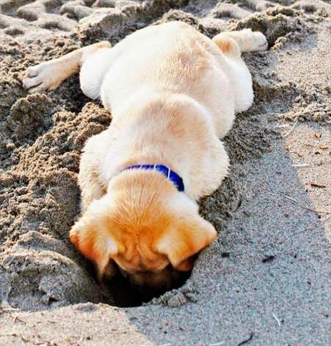 golden retriever escarbando en la arena