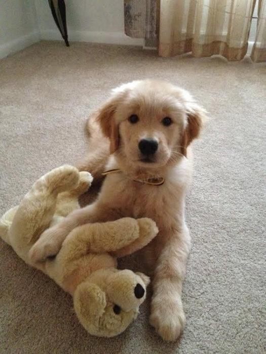 cachorro de golden retriever junto a su peluche
