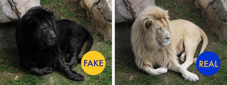 león blanco convertido en león negro