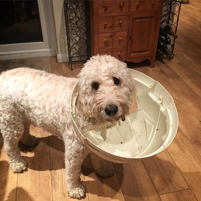 perro con la cabeza atorada en una tapa de bote de basura