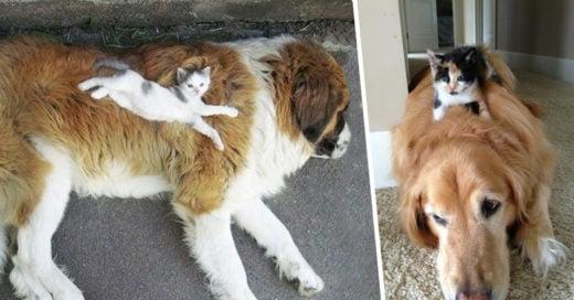 Cover Gatos que usan a sus amigos perros como almohada