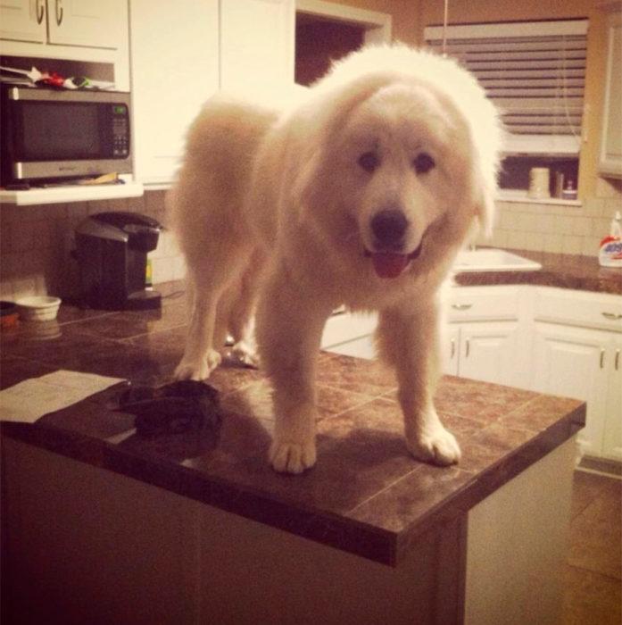 perro gigante arriba de la mesa