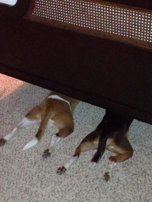 perros juegan escondidas debajo mesa 6