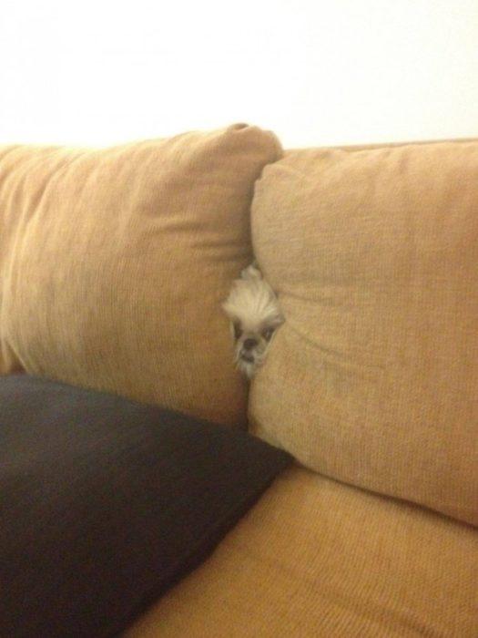 perros juegan escondidas entre sillones 10