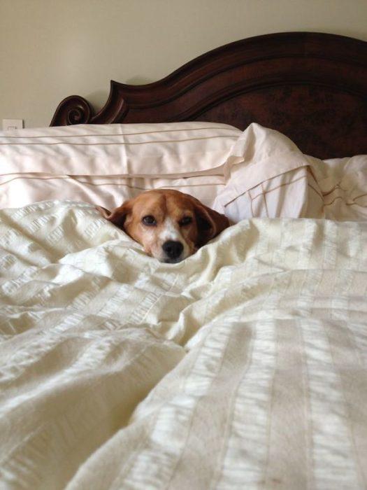 un perro acostado en la cama de un humano