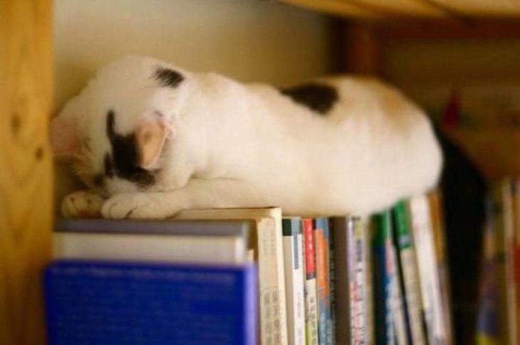 gato que ama los libros