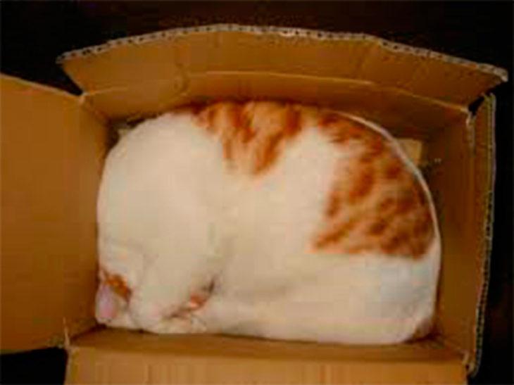 gato dormido dentro de una caja pequeña