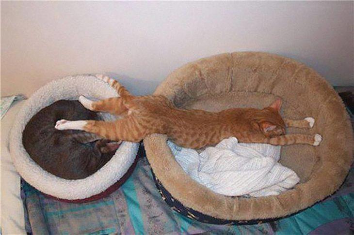 gato que necesita dos camas para dormir