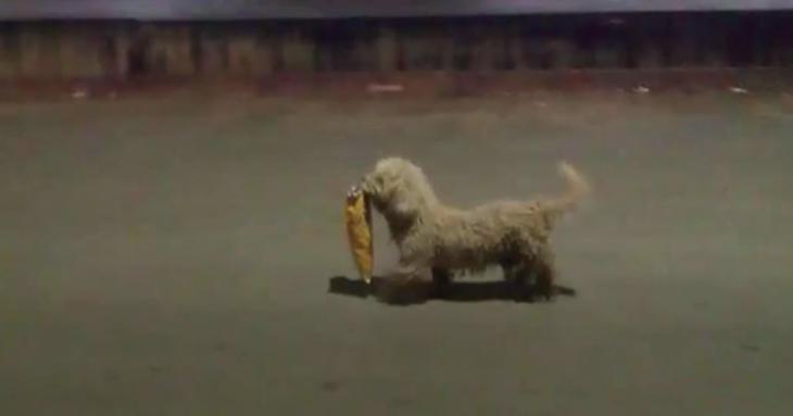 perro que participó en los saqueos de chetumal, quintana roo