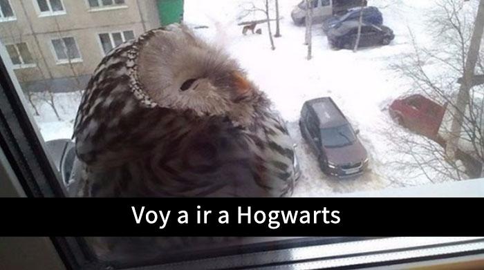 una lechuza de hogwarts