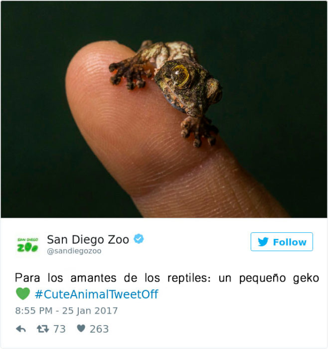 un reptil bebé de madagascar
