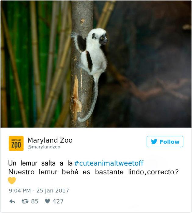 un lemur bebé