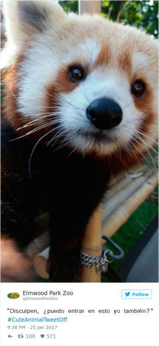 un panda rojo bebé