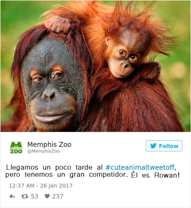 un orangután bebé y su mamá