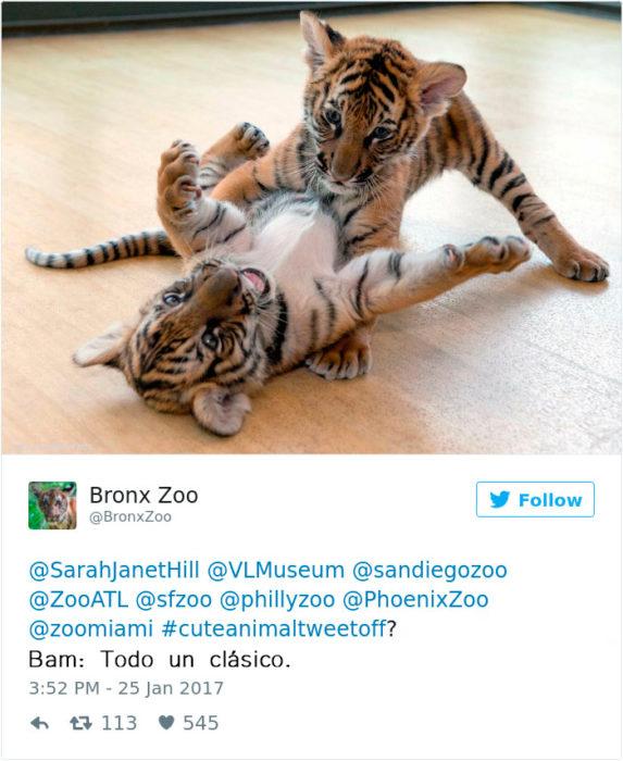 unos tigres bebés
