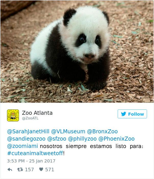 un panda bebé
