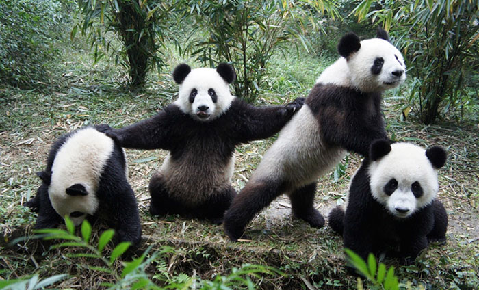 pandas jugando