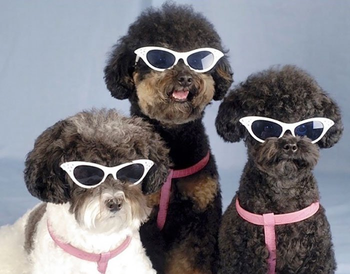 tres perros con lentes oscuros