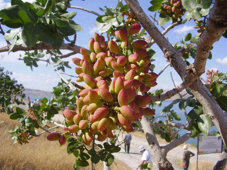 arbol pistaches