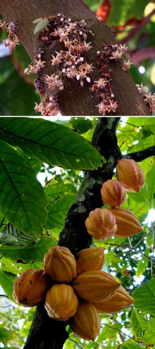 arbol cacao