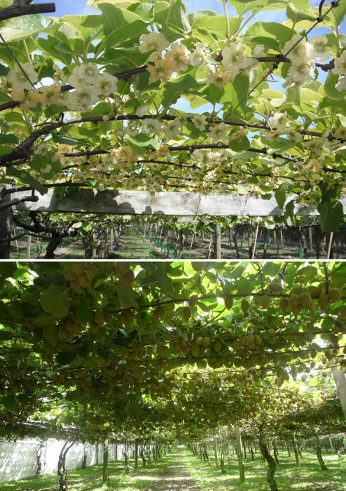 kiwi antes de cosechar