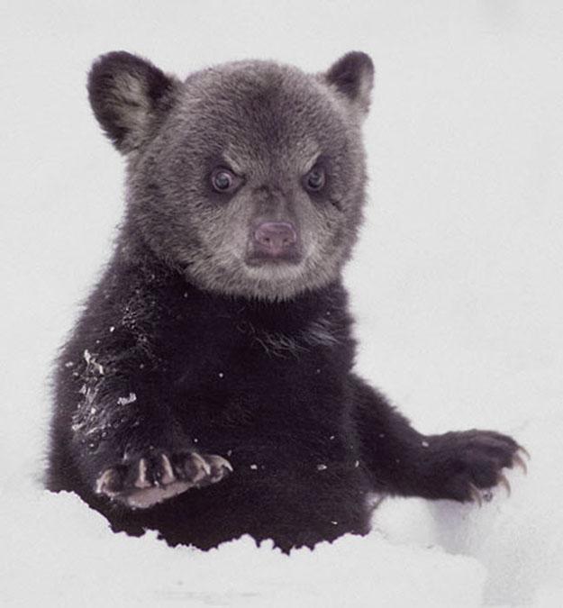oso enojado