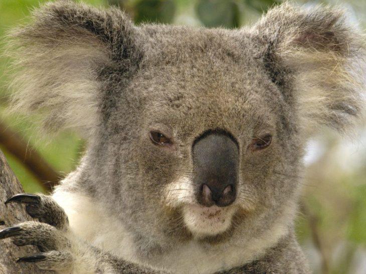 koala enojado