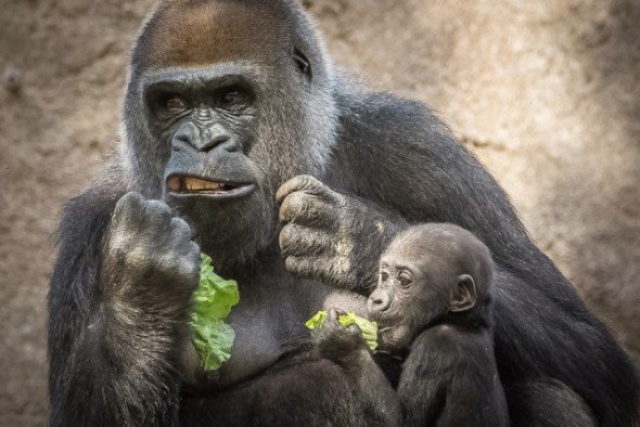 gorila fastidiado