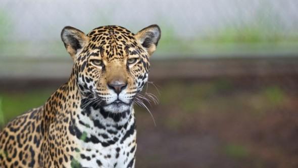 jaguar harto