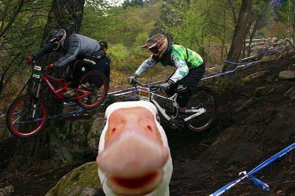foto de ciclista y un pato se asoma