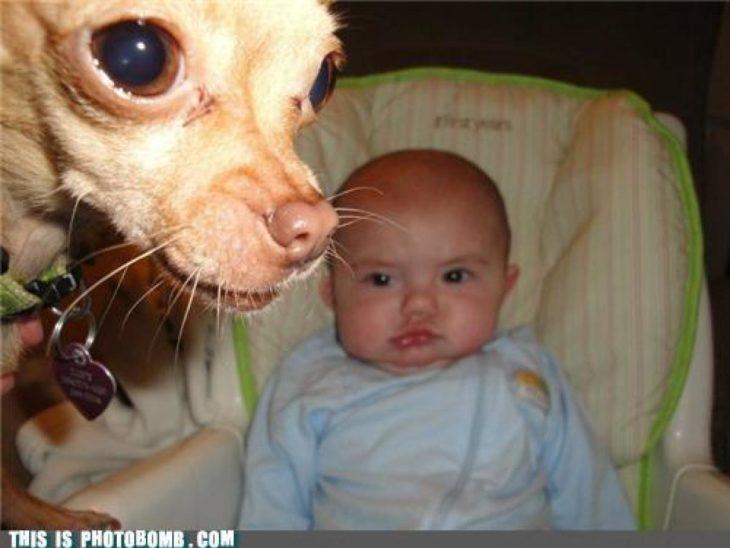foto de bebé y chihuahua se mete en la foto