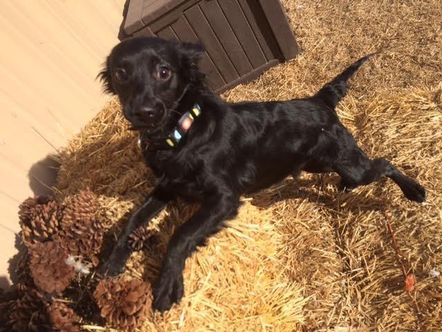 perro negro paja posando cámara