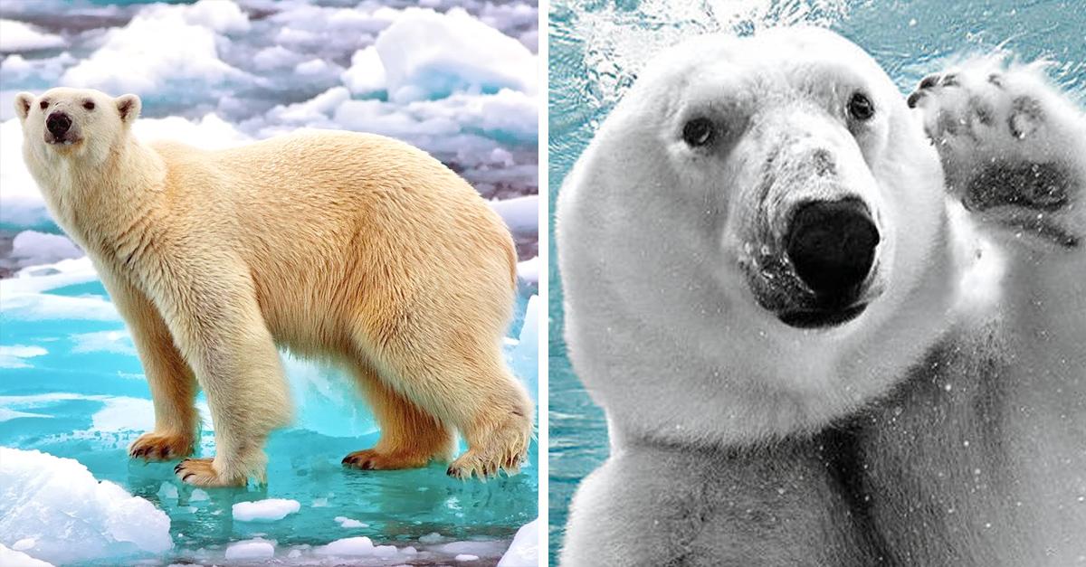 10 Datos Curiosos Que No Conocías Sobre Los Osos Polares